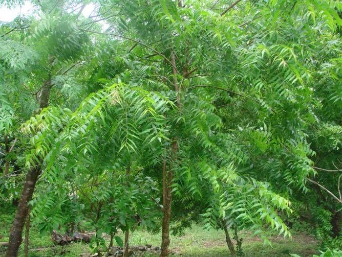 Neem leaves,benefits,neem leaves powder,neeem leaves diabetes,neem leaves capsules,வேப்பிலையின் பயன்கள்,சர்க்கரைநோய்க்கு வேப்பிலை