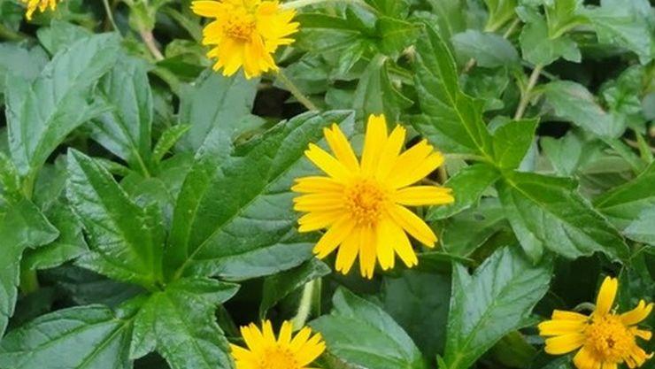 bhringraj herbs,benefits of karisalangkanni,annaimadi.com,karisalaangkanni thool,medicinal herb
